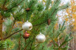 Scots pine tree at Wildmoor Heath - low res - credit Pete Crome